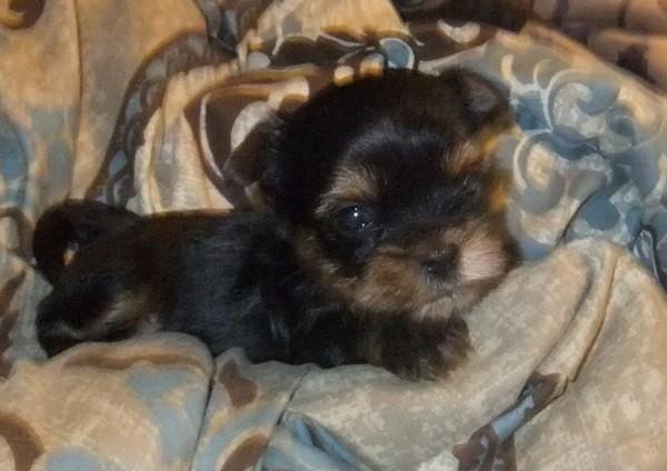Shorkie puppies,Shorkie,Shorkie Puppies For Sale,Shorkie Breeder ...